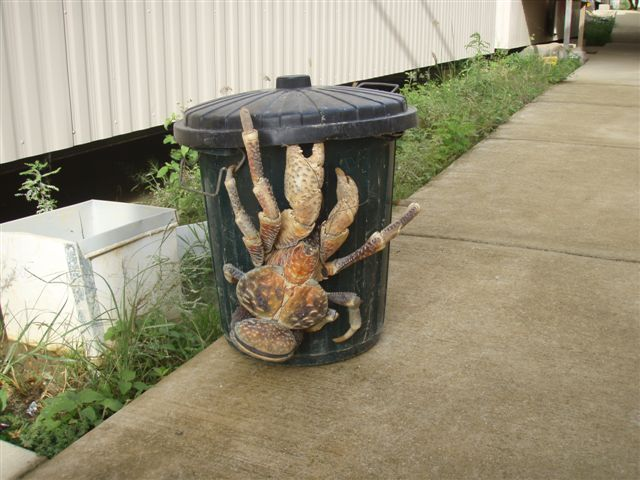 http://www.allthepages.org/images/blog/coconut_crab.jpg