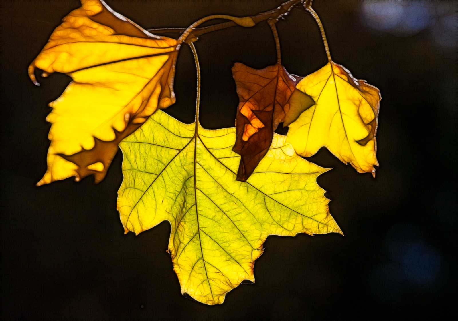 fractalius leaves
