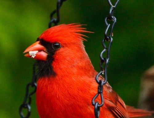 Cardinal & Oriole