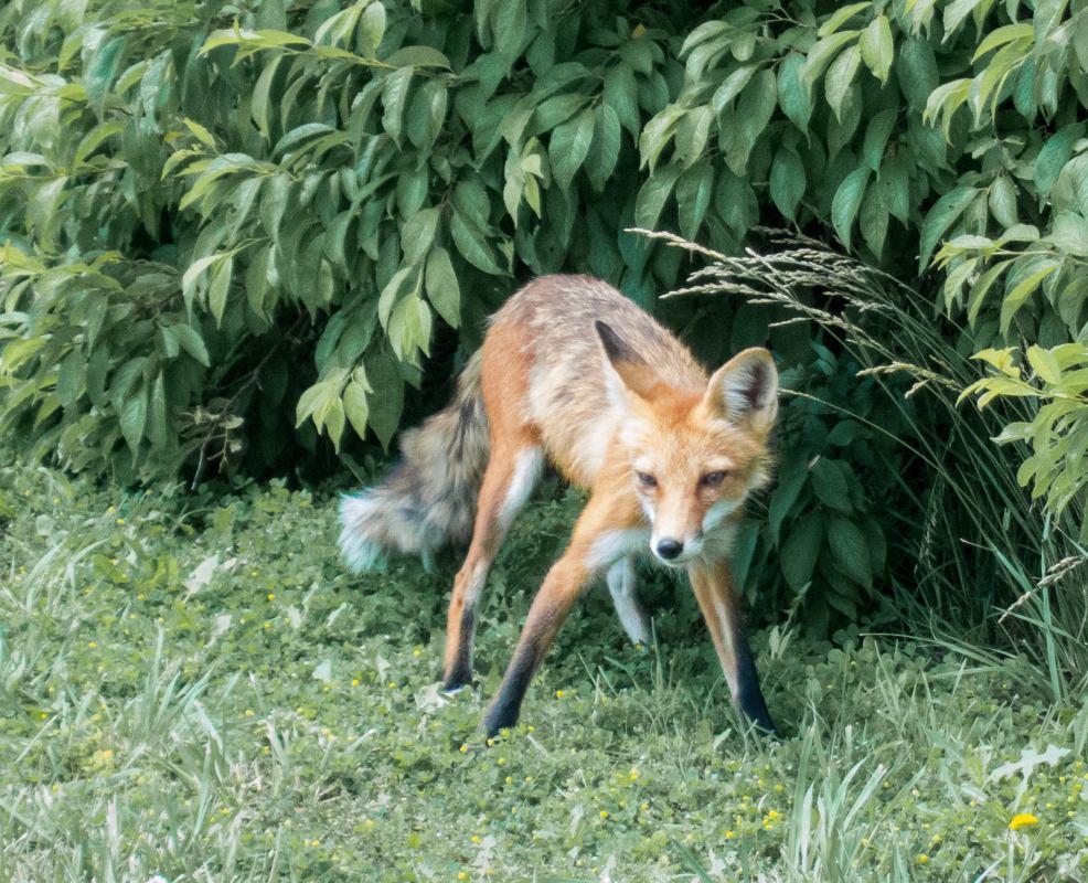 Fox on Trail