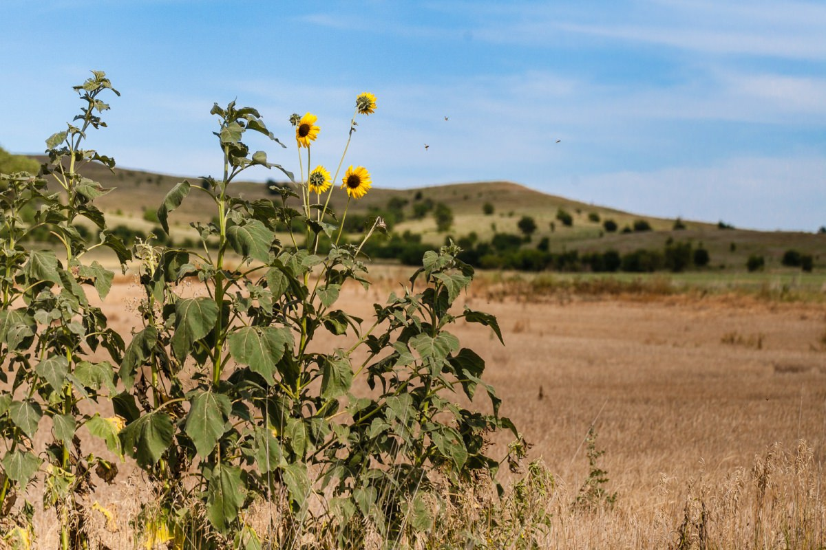 Sunflowers and Hills