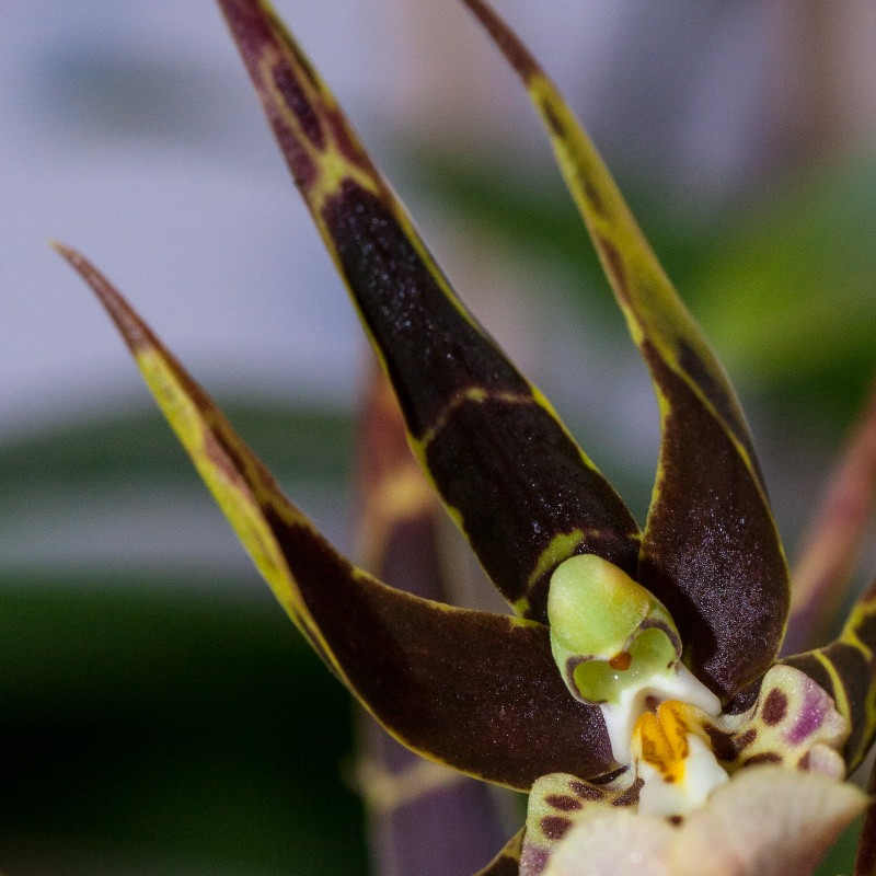 Cool Orchid