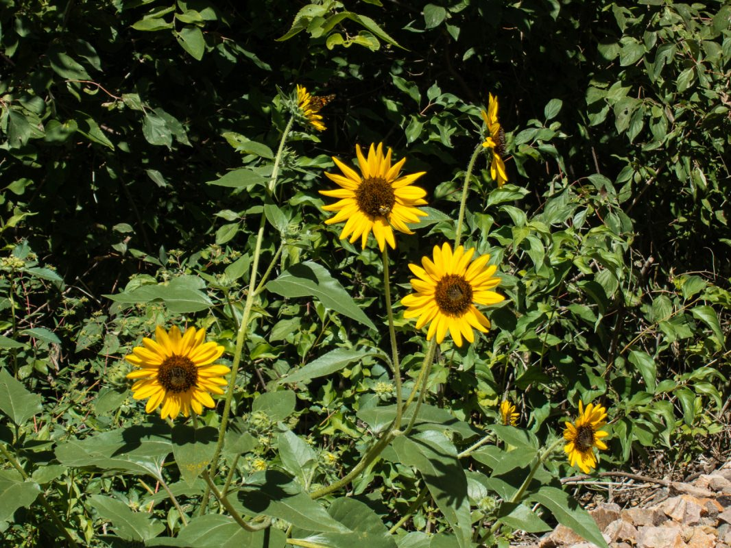 Meadowlark Trail: Sunflowers