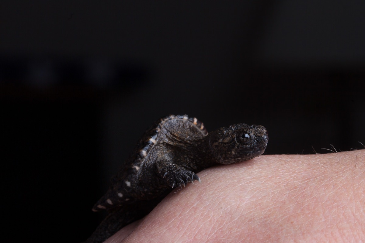 Baby alligator snapping turtle