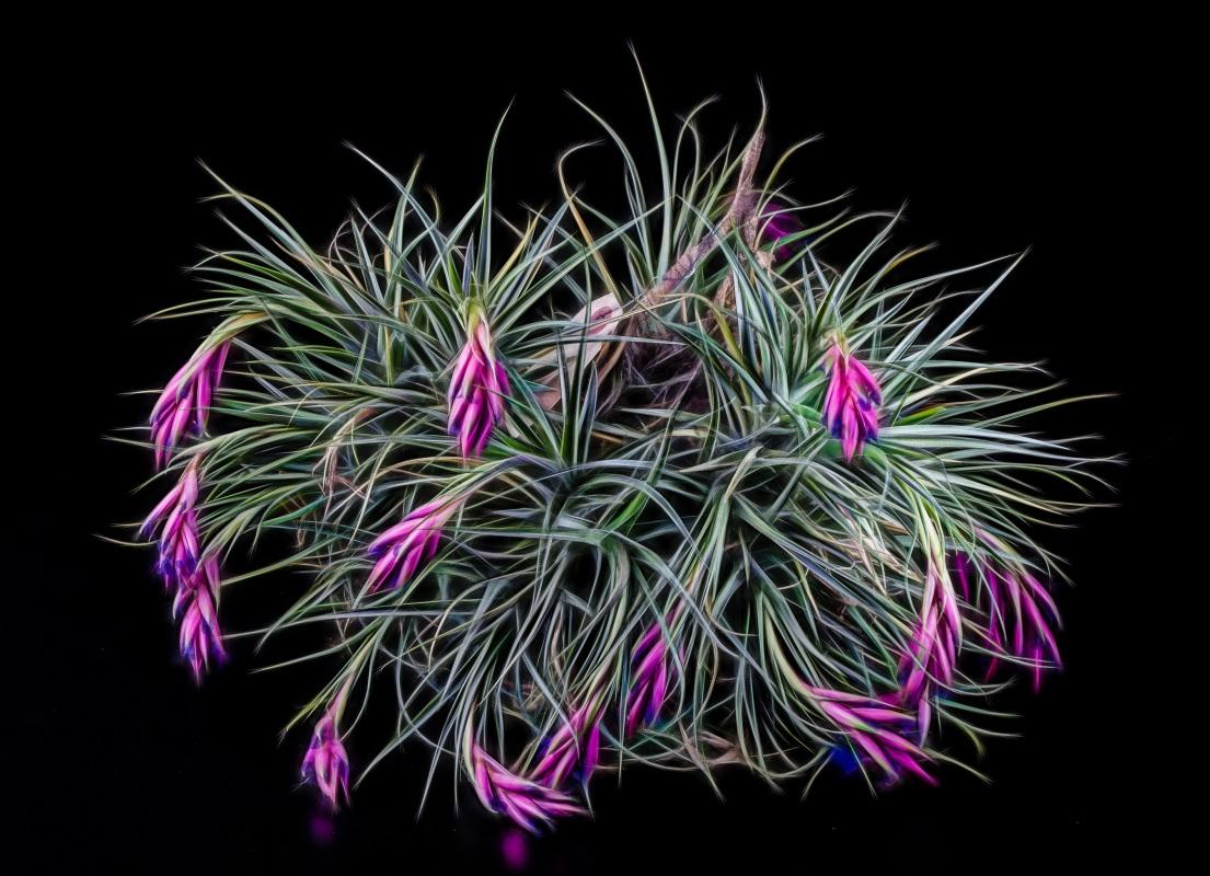 Beautiful succulent air plant