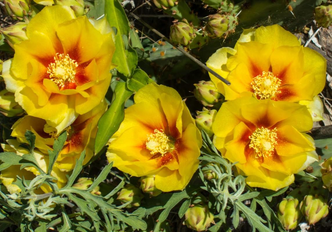 Cactus Flowers on Meadowlark Trail
