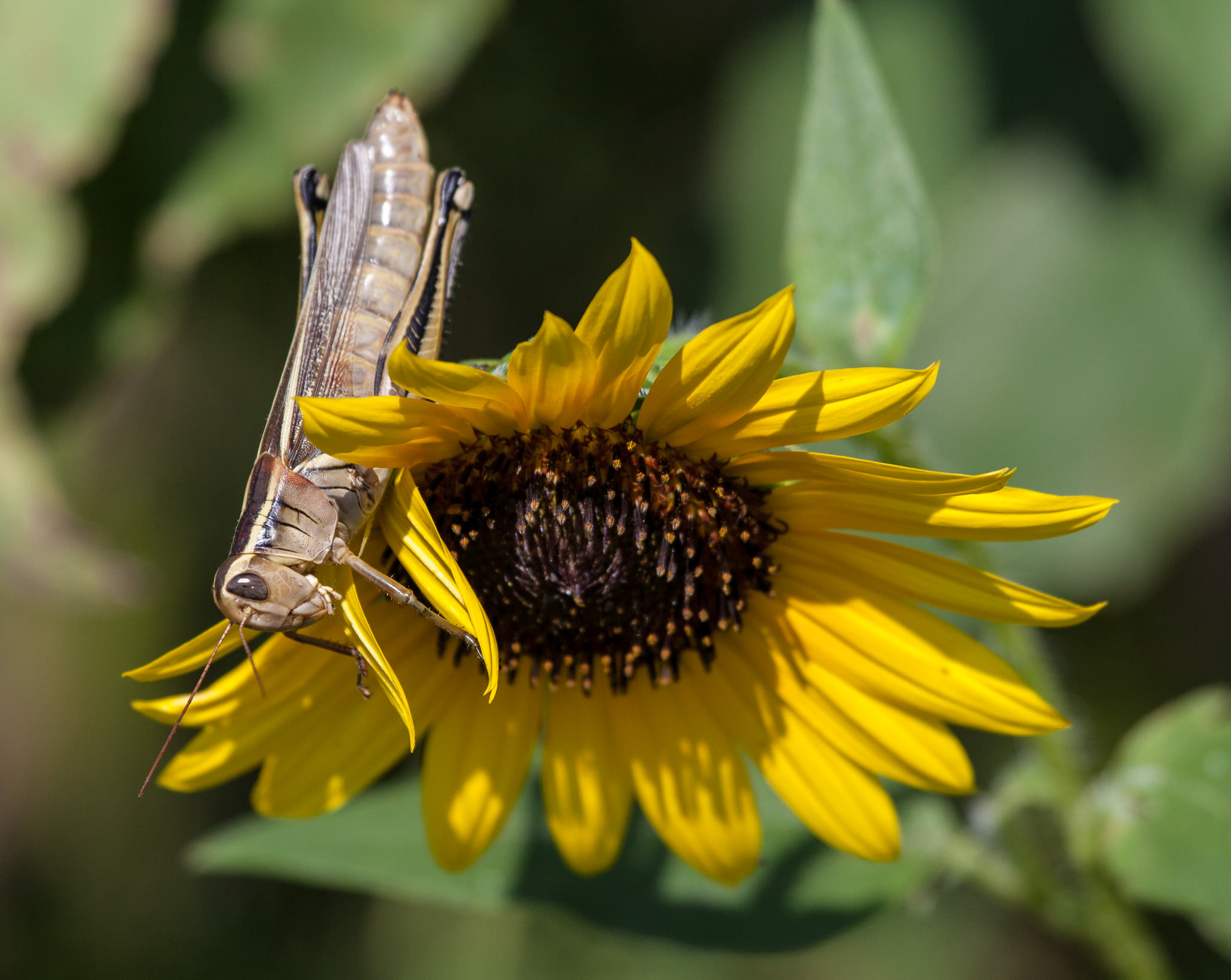 Grasshopper and Sunflower
