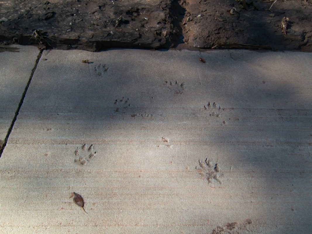Quivira Rd Crossing, paw prints in cement