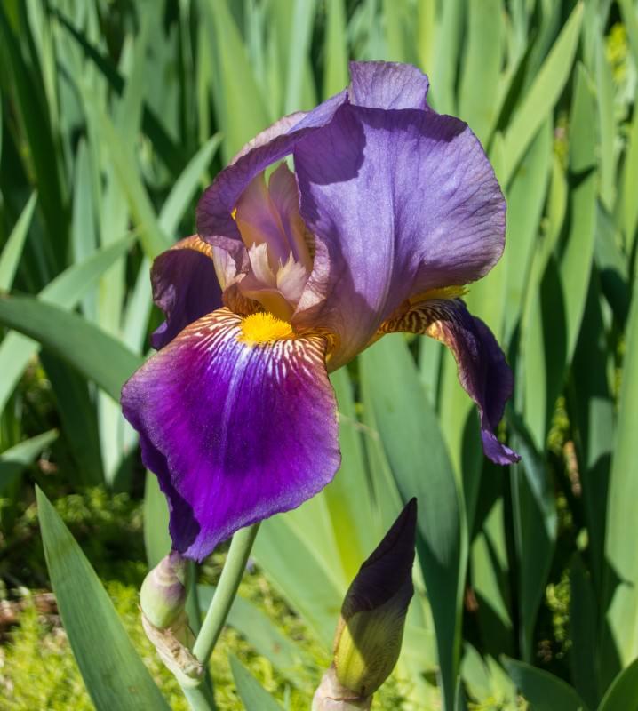 Purple Iris (red shade)