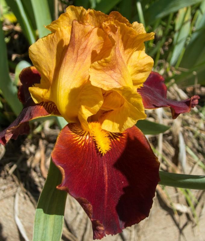 Rust/Orange Iris
